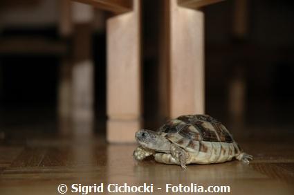 können wasserschildkröten hören