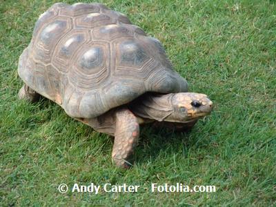 landschildkröte im hohen gras