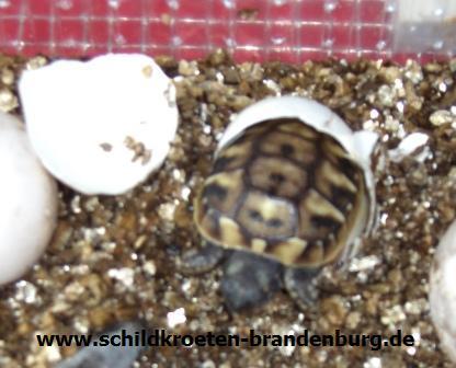 baby schildkröten haltung