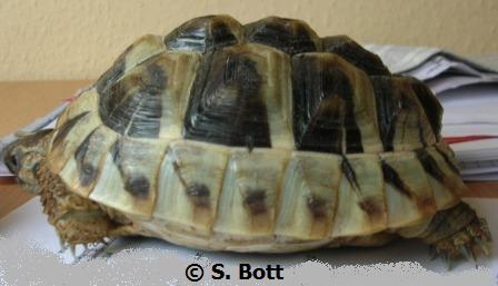 wasser oder landschildkröte